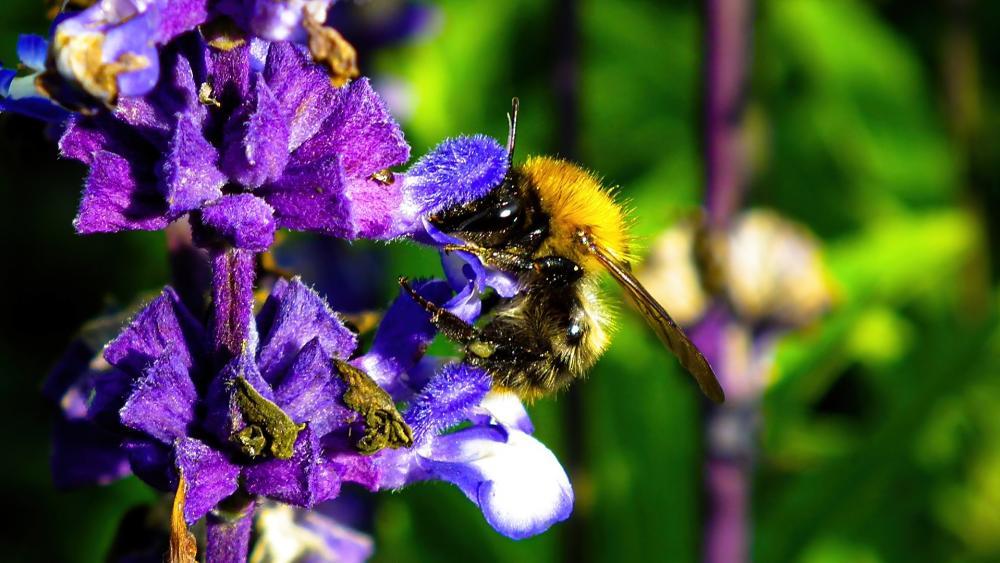 Bumblebee on a flower wallpaper