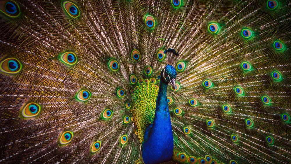 Colorful Peacock wallpaper