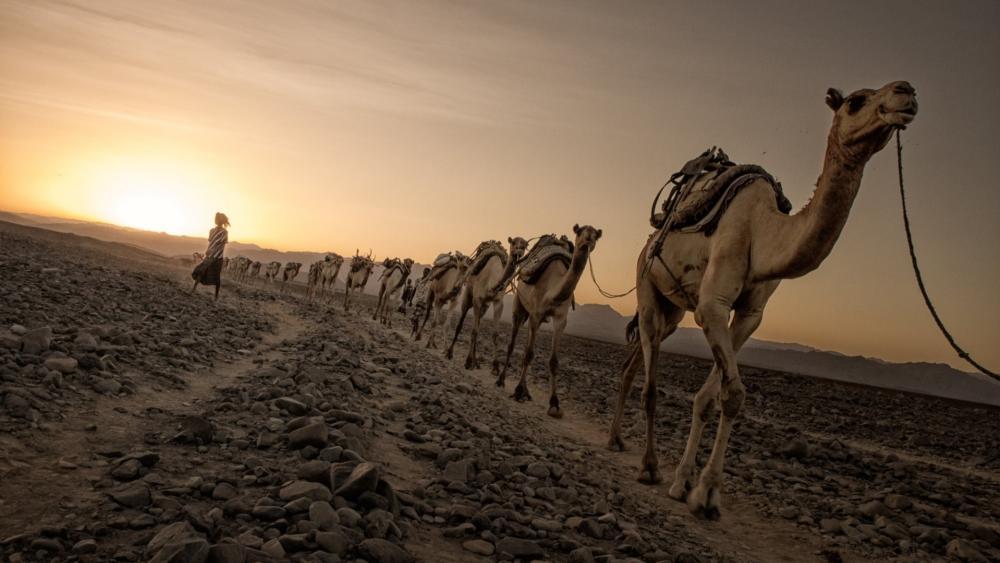 Camels walking on dirt road wallpaper