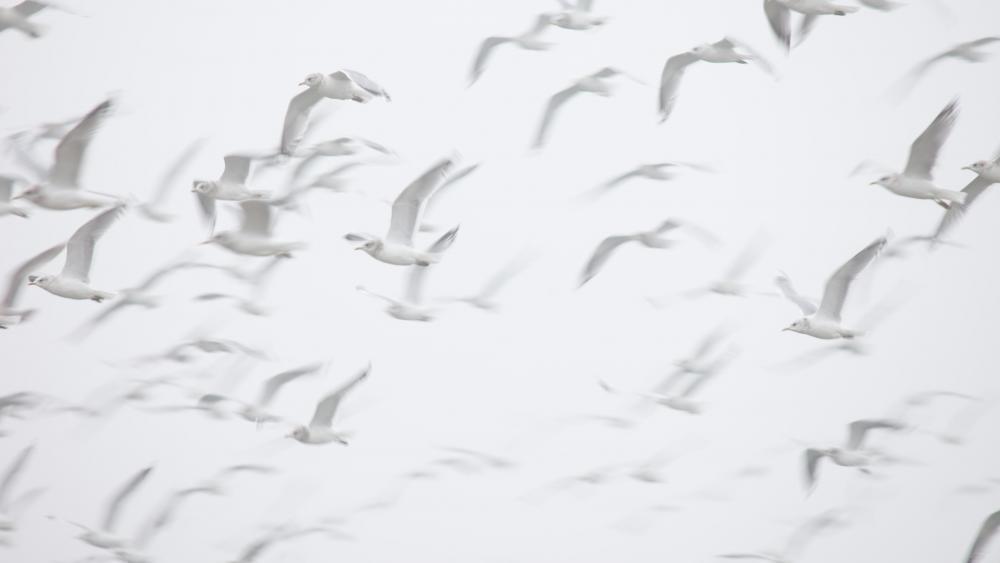 White seagulls wallpaper