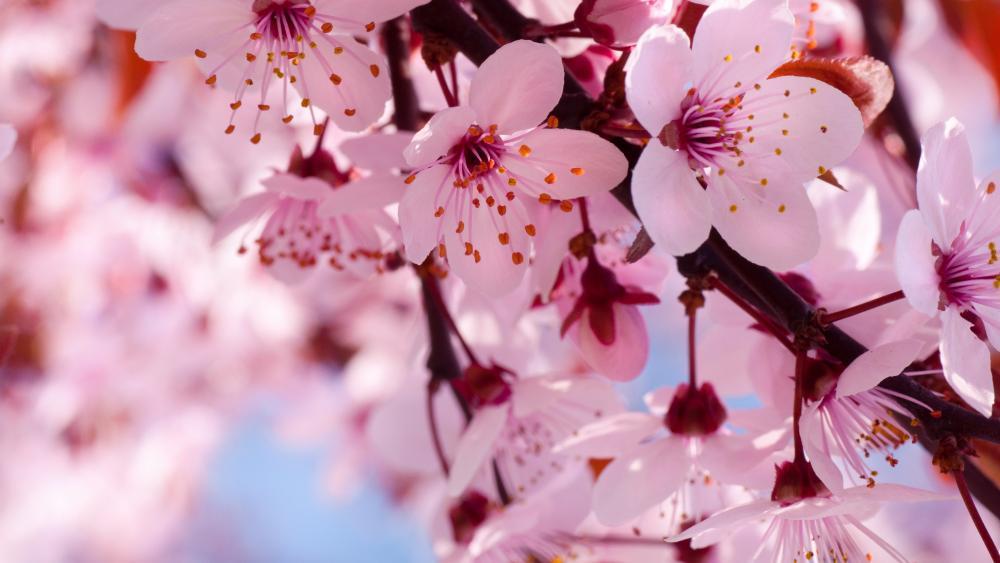 Blooming cherry tree wallpaper