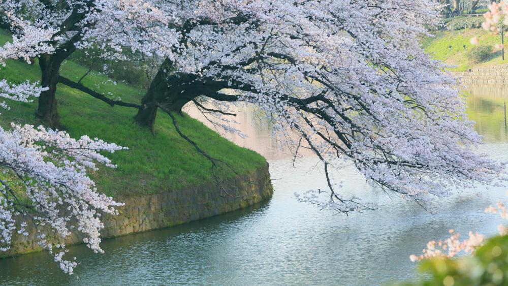Cherry tree above Hanzo moat, Chidorigafuchi wallpaper
