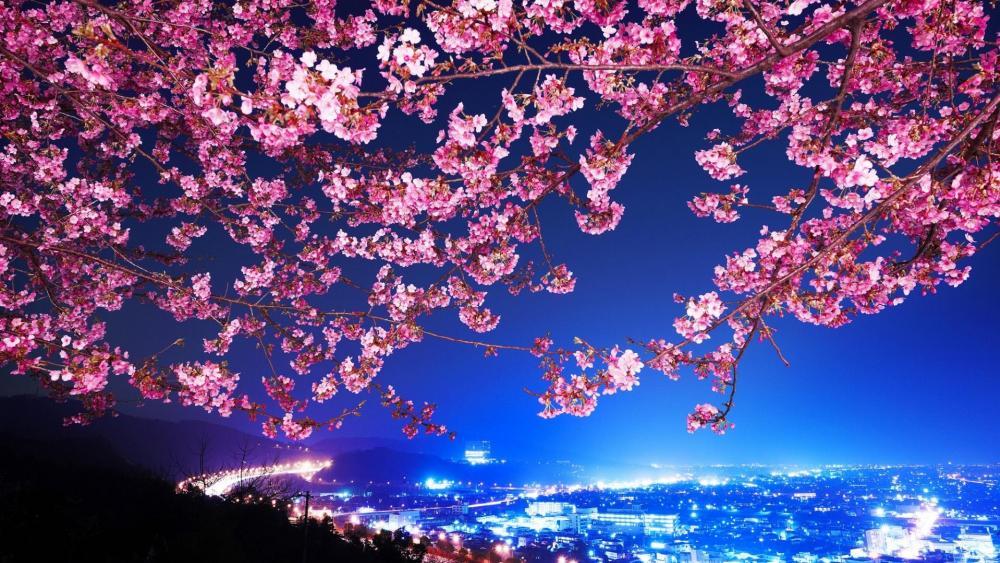 Night sakura blossom, Japan wallpaper