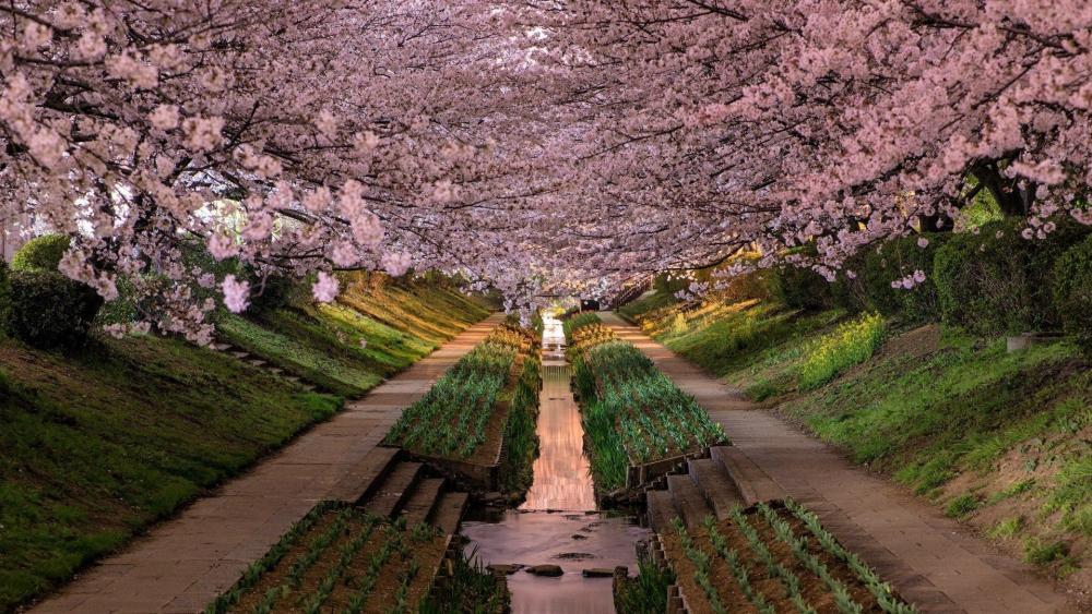 Cherry blossom in Japan wallpaper