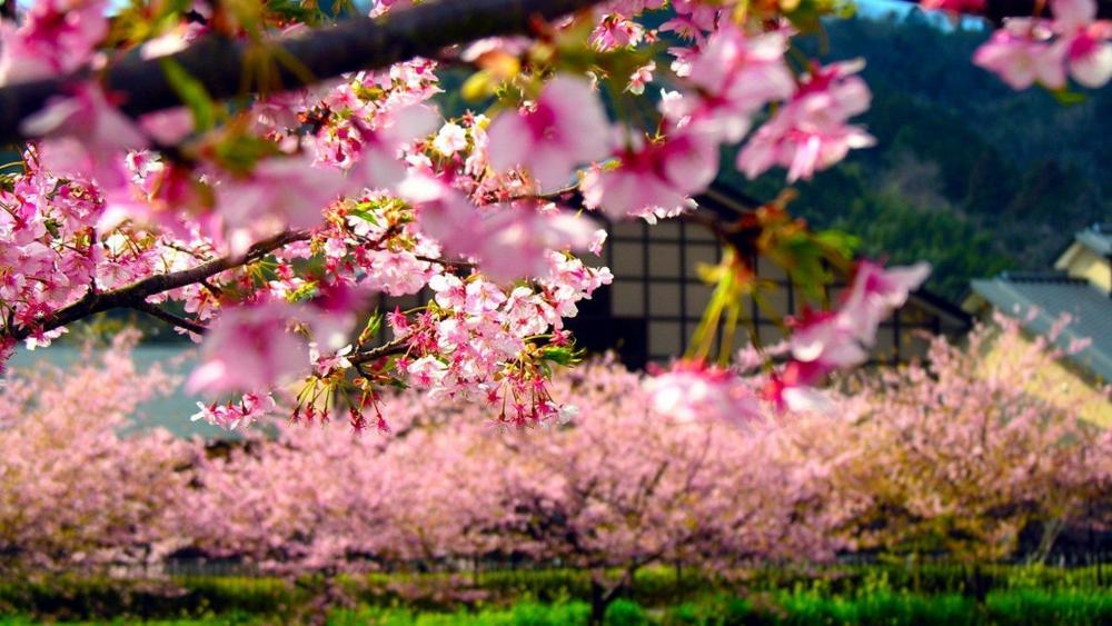 Sakura trees wallpaper