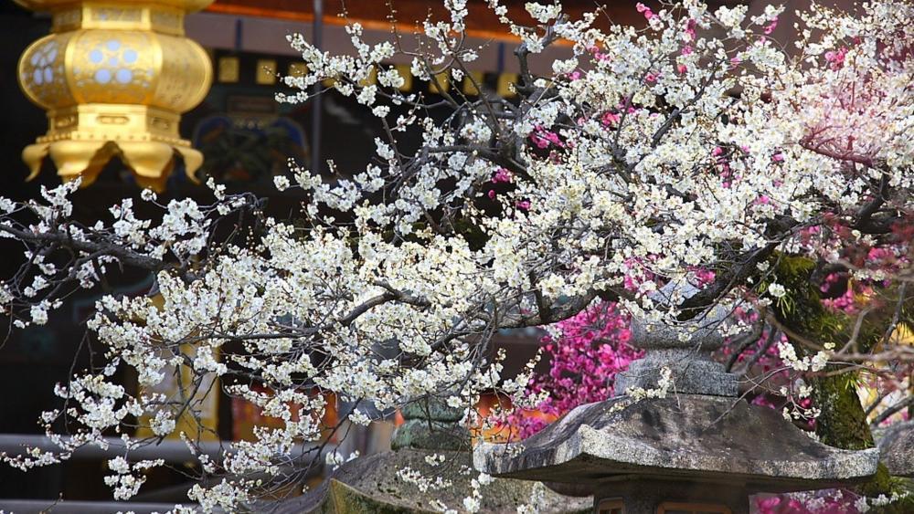 Kitano Tenmangu Shrine golden lantern and a plum blossom wallpaper