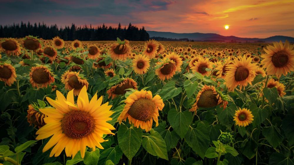 Sunflower field in the sunset wallpaper