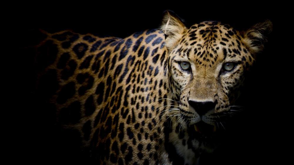 Leopard portrait wallpaper