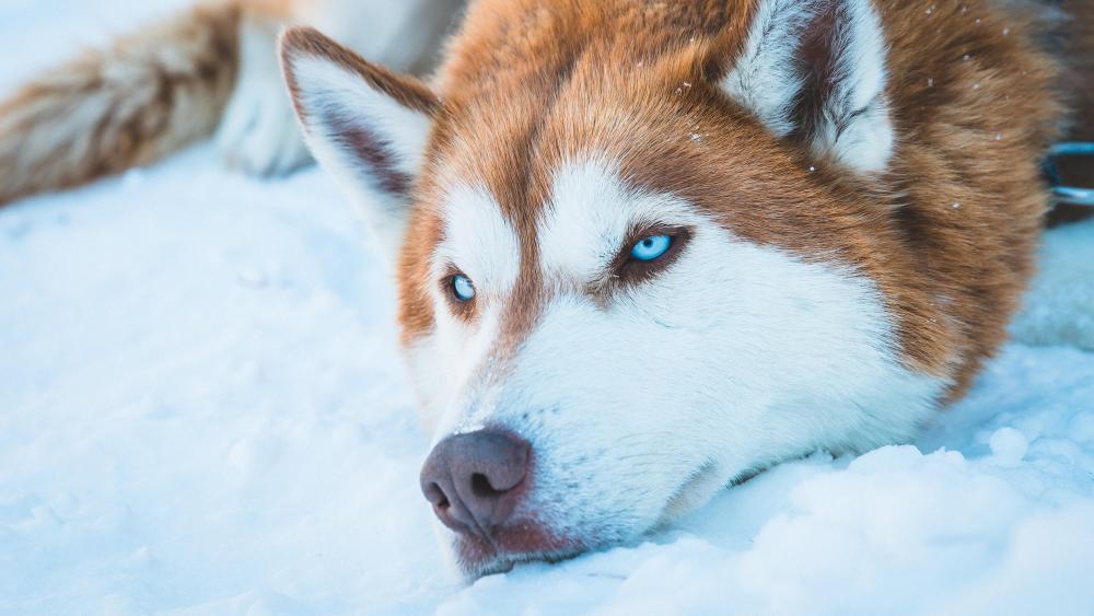 Cute Siberian Husky wallpaper
