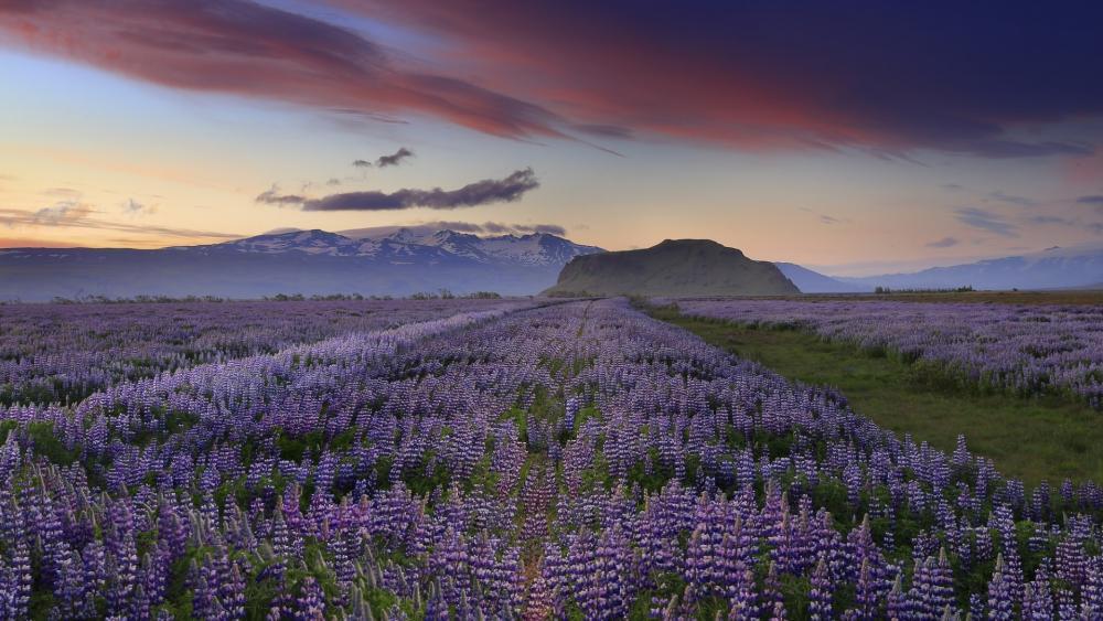 Lupin field in Iceland wallpaper