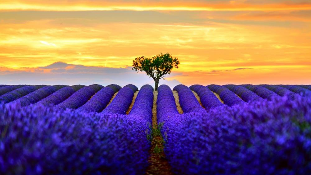 Heart tree in the middle of a lavender field (Valensole) wallpaper