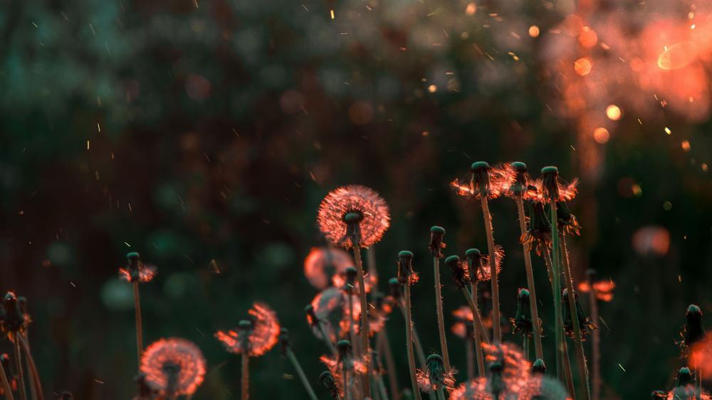 Dandelions in field in sunlight wallpaper