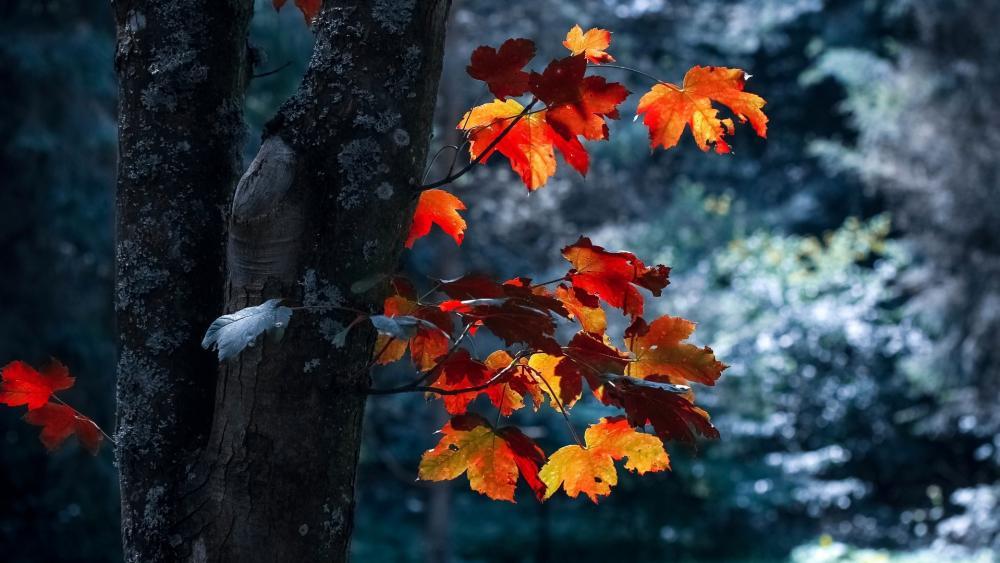 A Maple Tree wallpaper