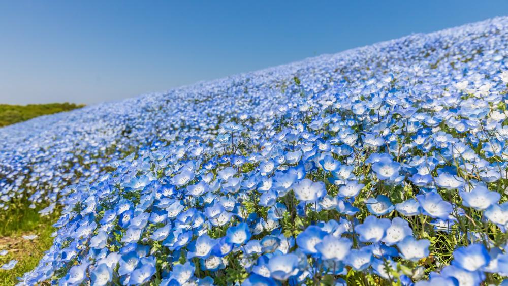 Baby Blue Eye blossom (Hitachi Seaside Park, Japan) wallpaper