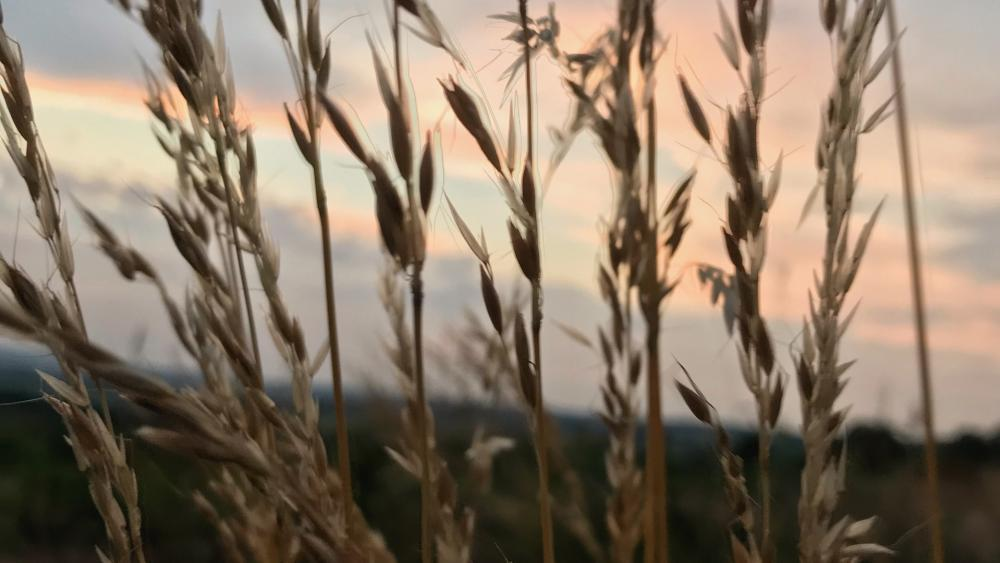 Wheat with sunset wallpaper