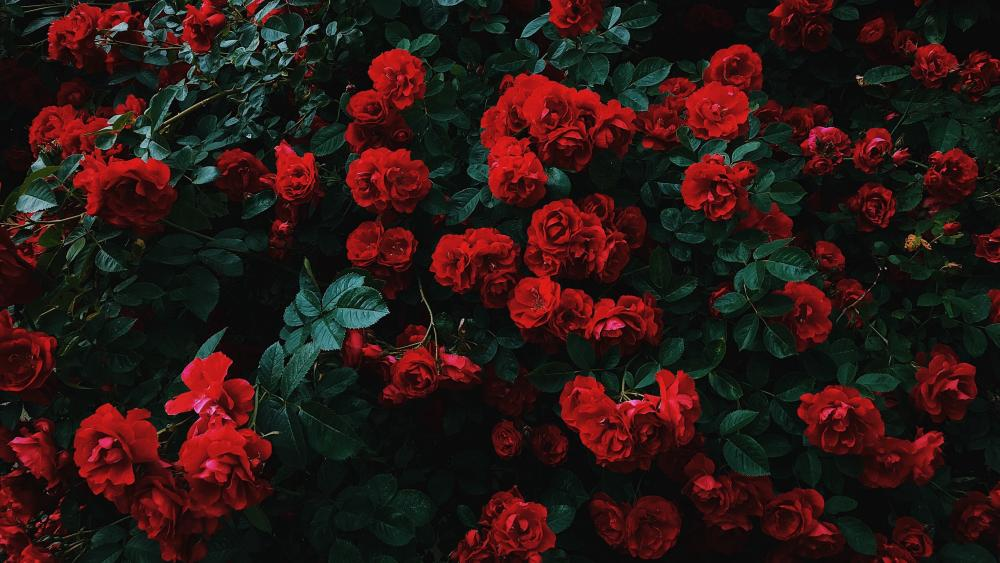 Red rose bush wallpaper