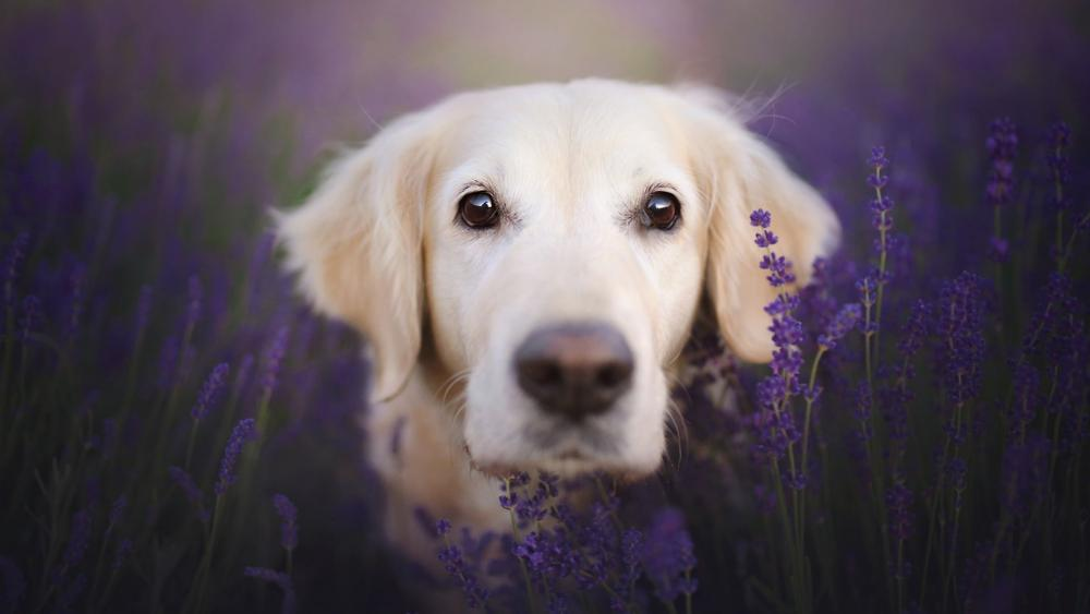 Golden Retriever in the lavender field wallpaper