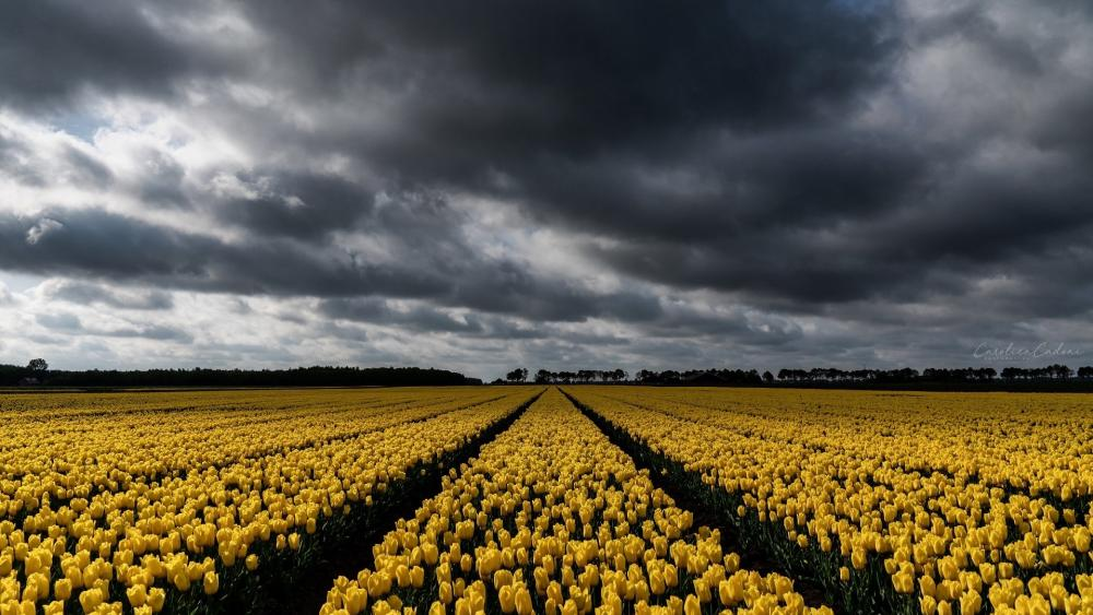 Overcast clouds above a tulip field wallpaper