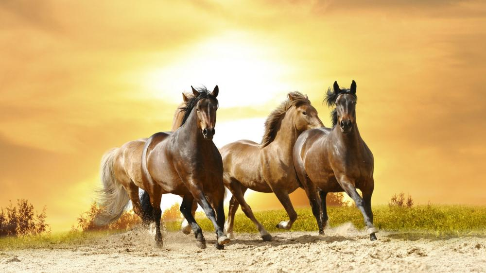 Galloping horses in the sunset wallpaper