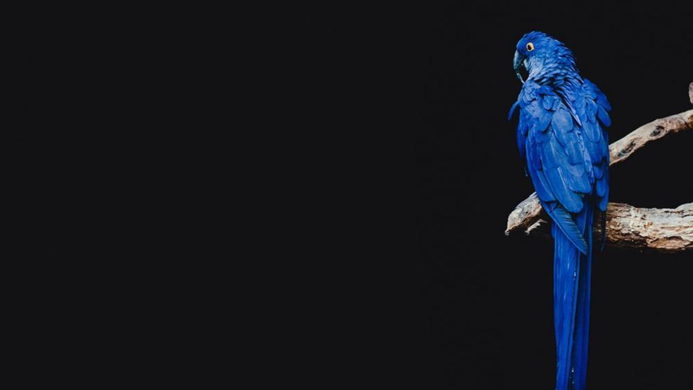 Dark blue parrot wallpaper