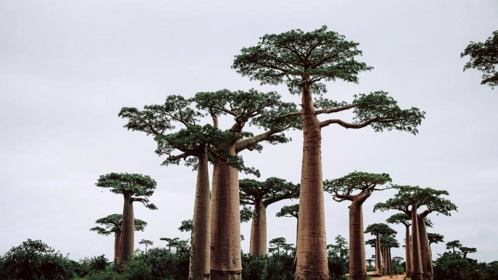 Avenue of the Baobabs wallpaper