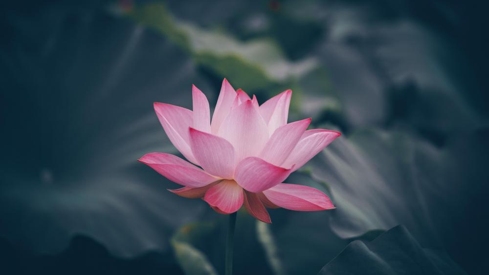 Lotus and lotus leaf wallpaper