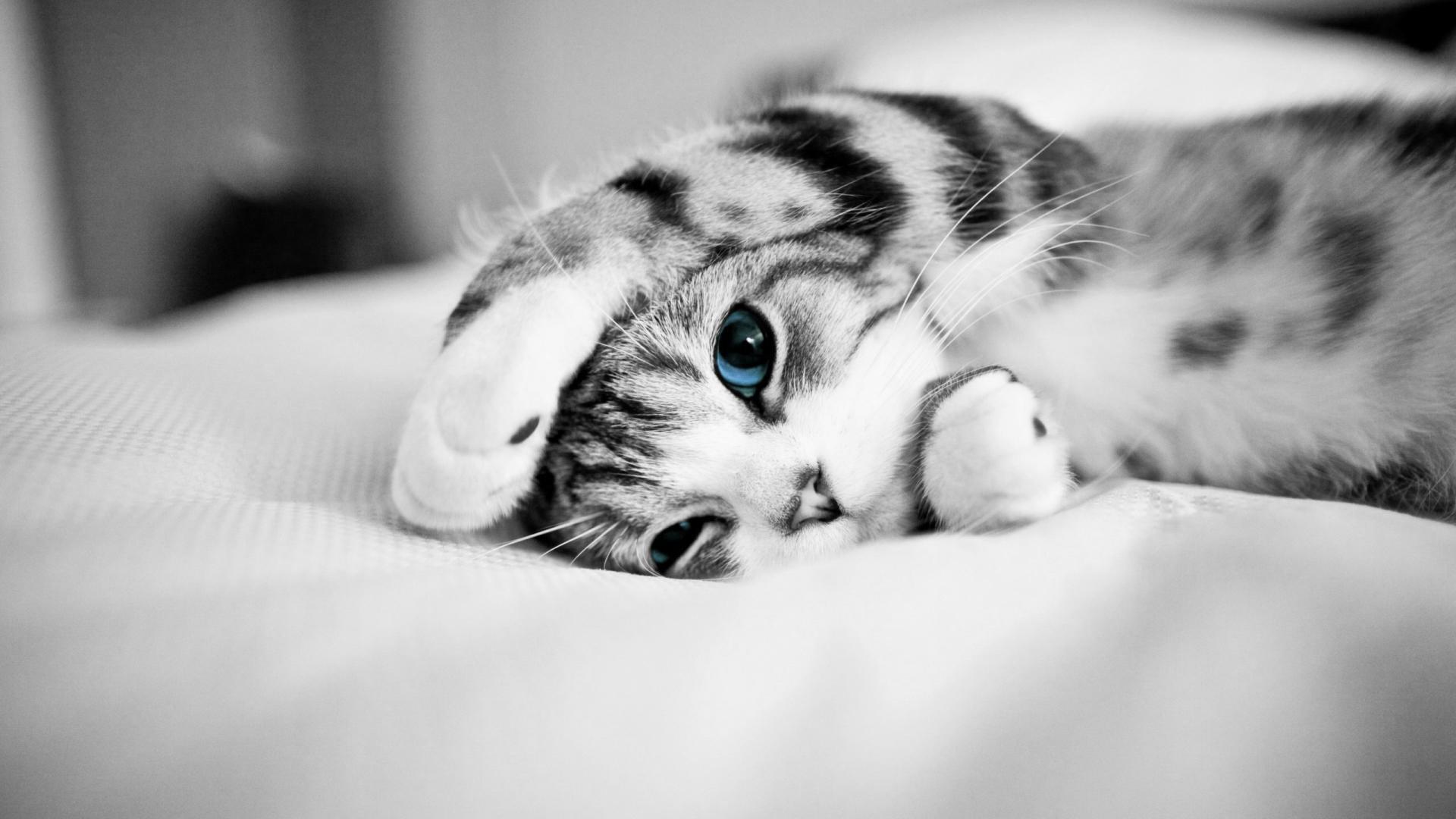 Blue eyed cat - Monochrome photography wallpaper