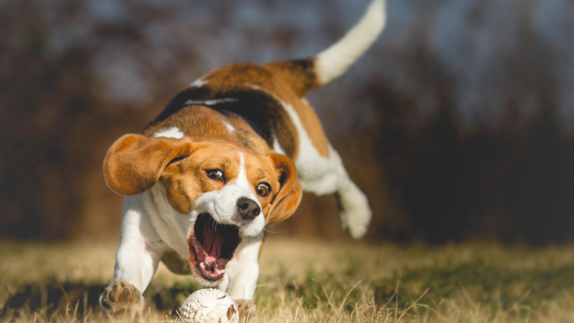 Beagle doggie playing wallpaper