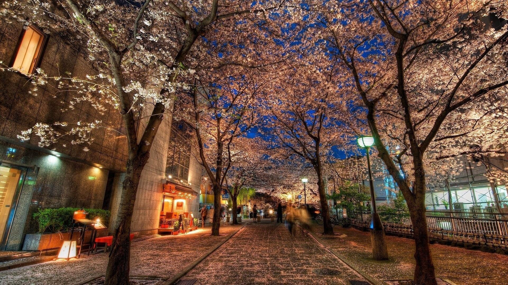 Cherry blossom in Kyoto  wallpaper