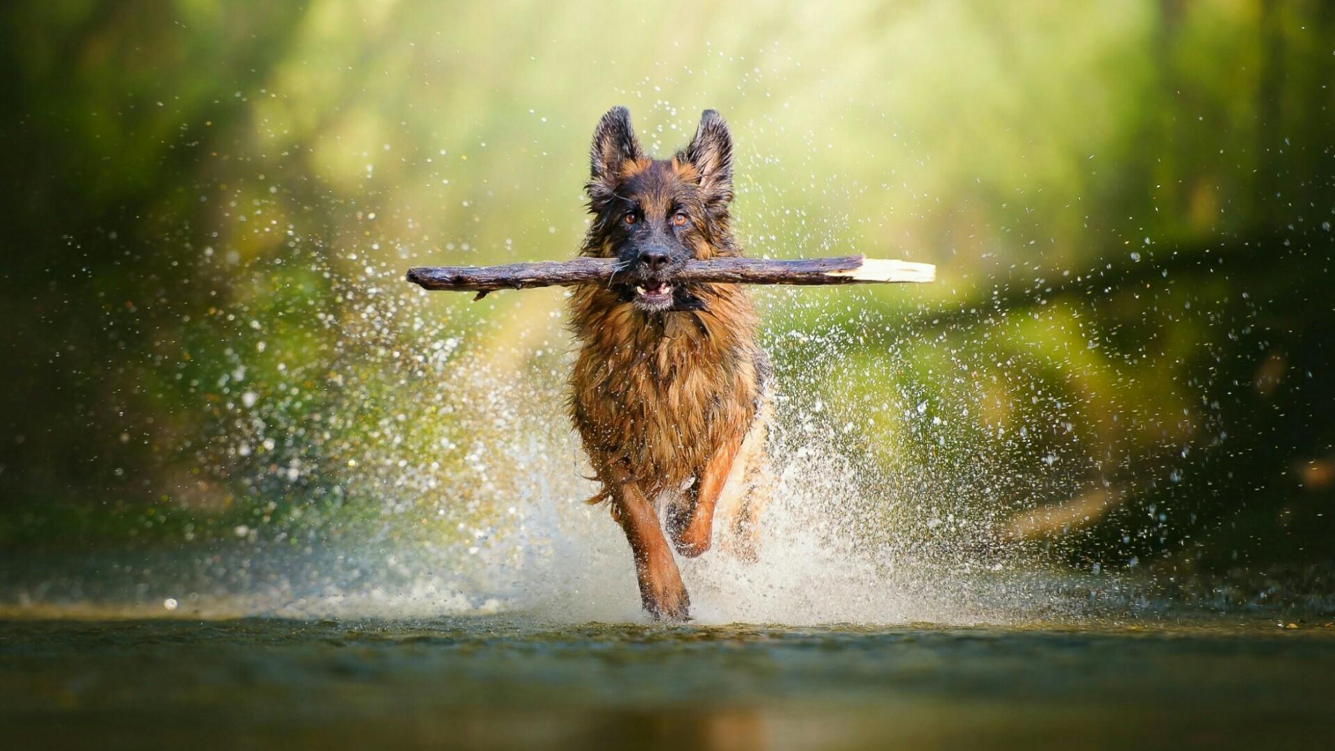 German Shepherd dog apport training wallpaper