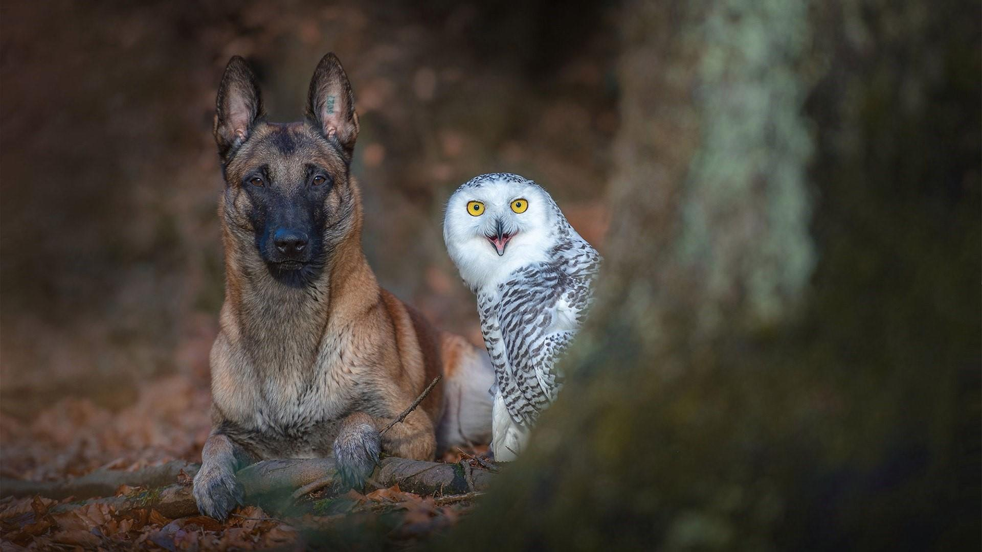 Malinois Belgian Shepherd dog with a white owl wallpaper