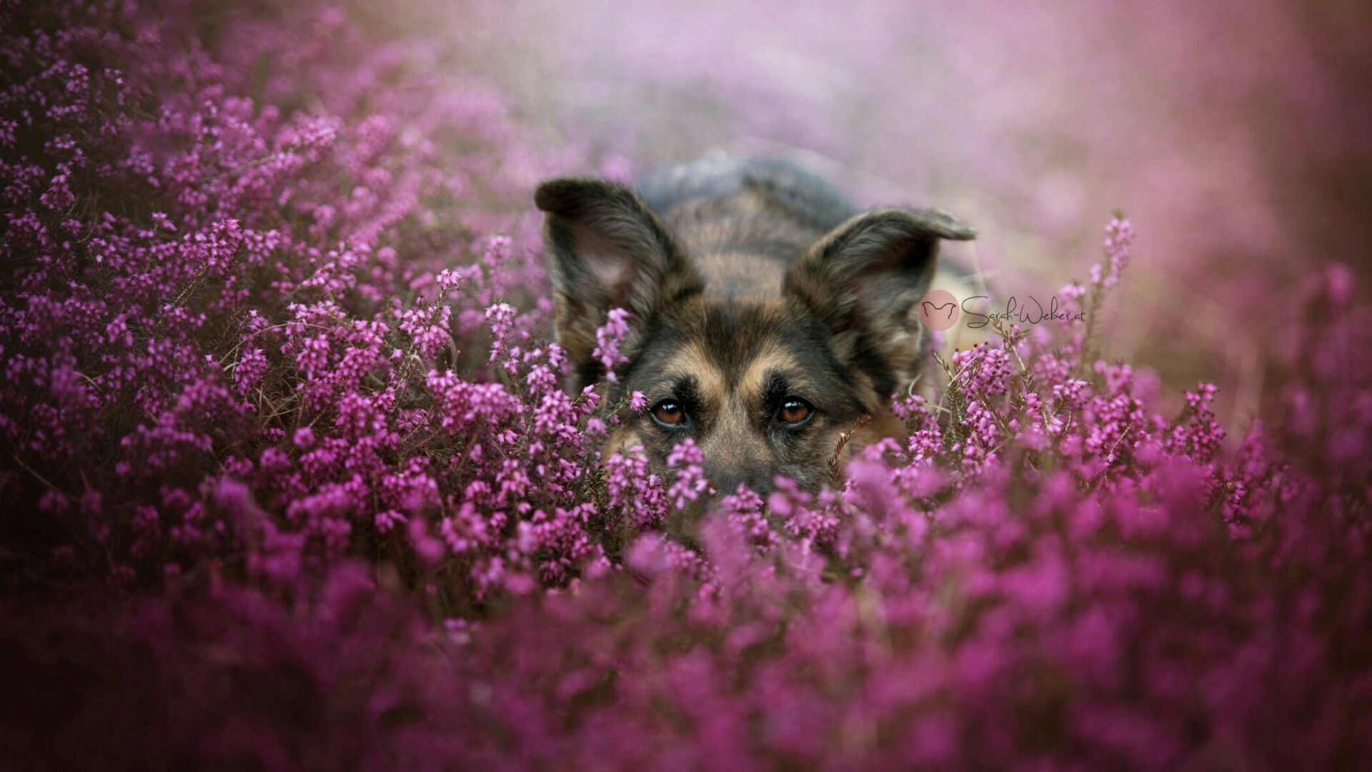 German Shepherd dog in the flowers wallpaper