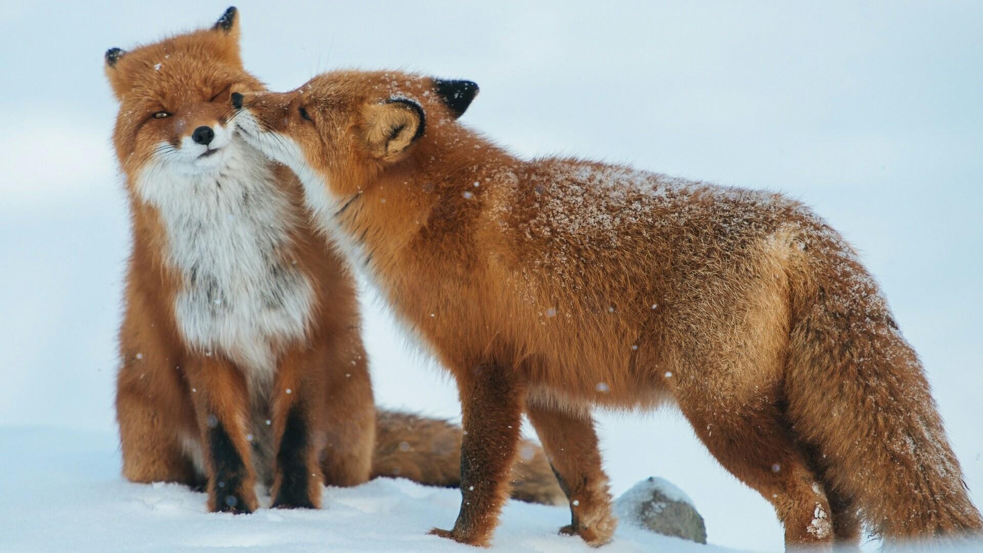 Fox kiss wallpaper