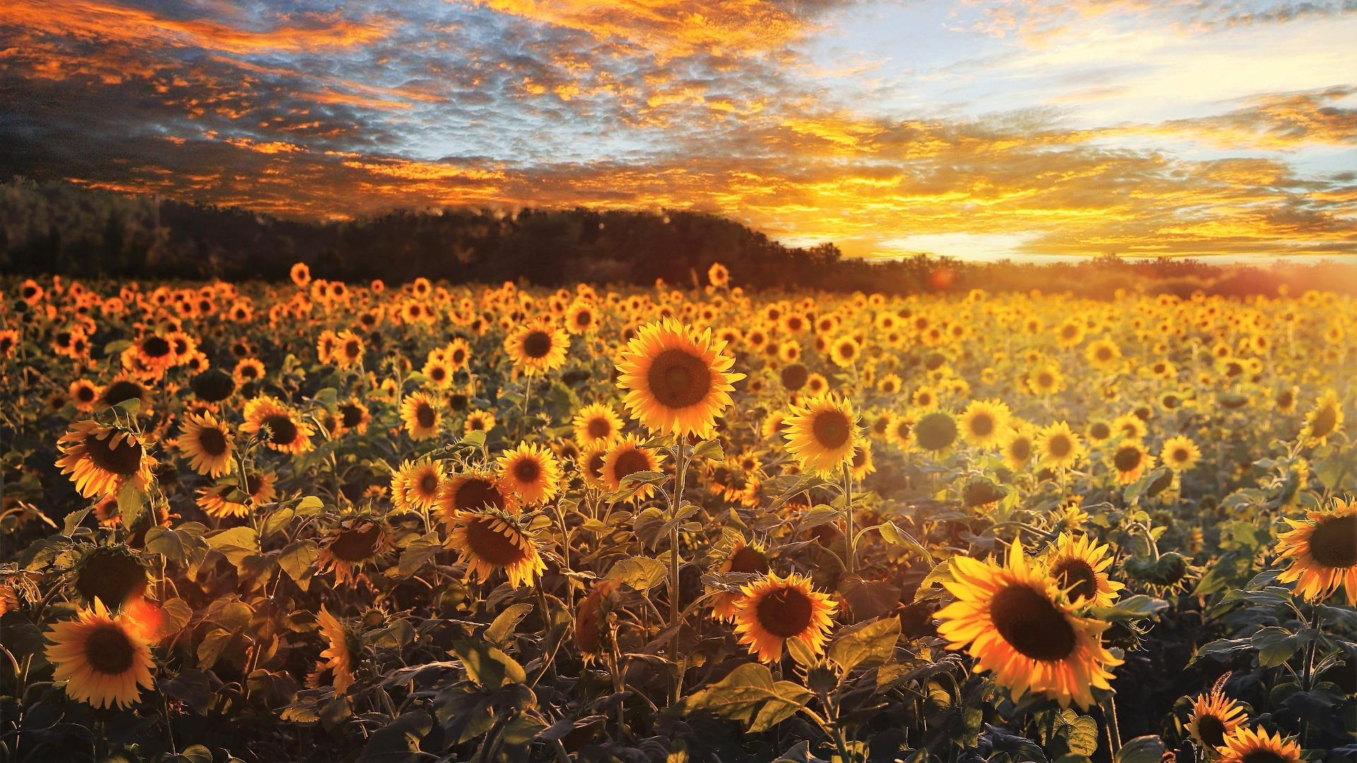 Sunflower wallpaper - backiee