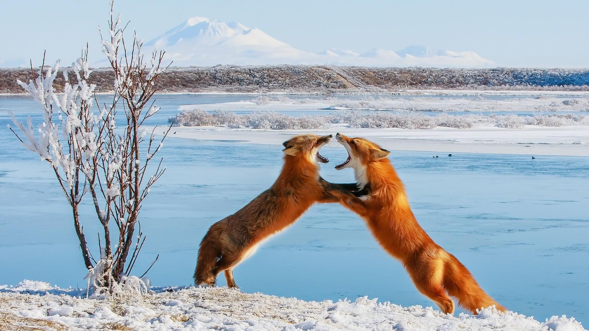 Fox fight wallpaper