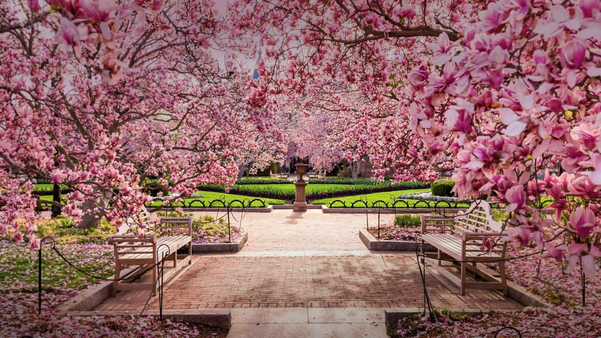 Cherry blossom in National Mall (Washington DC) wallpaper