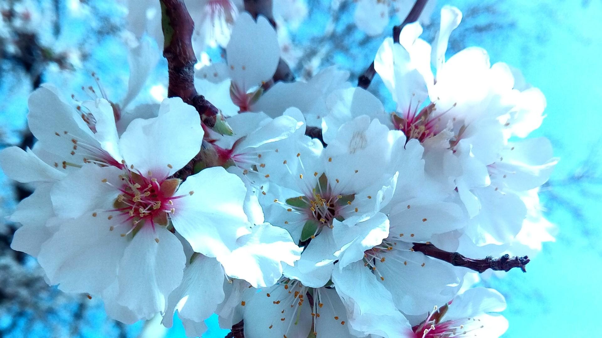Apricot tree blossom wallpaper
