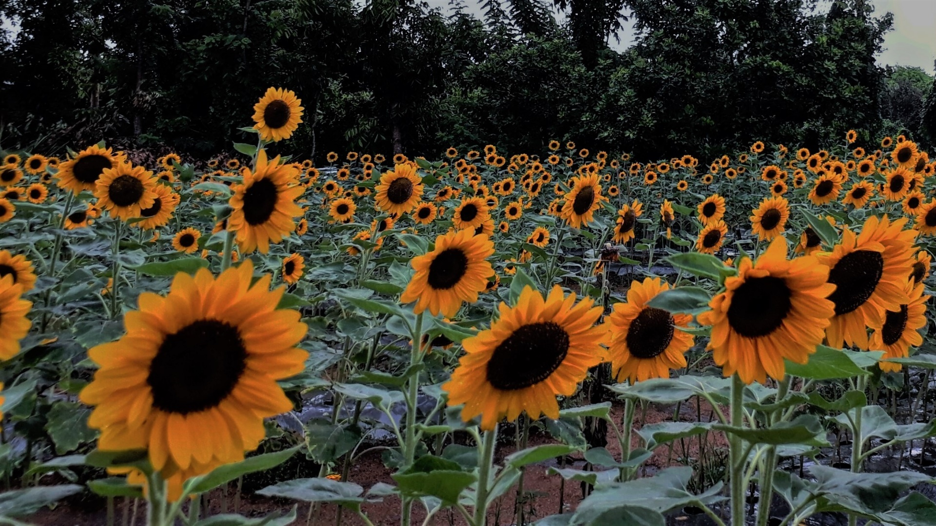 Happy Sunflower wallpaper