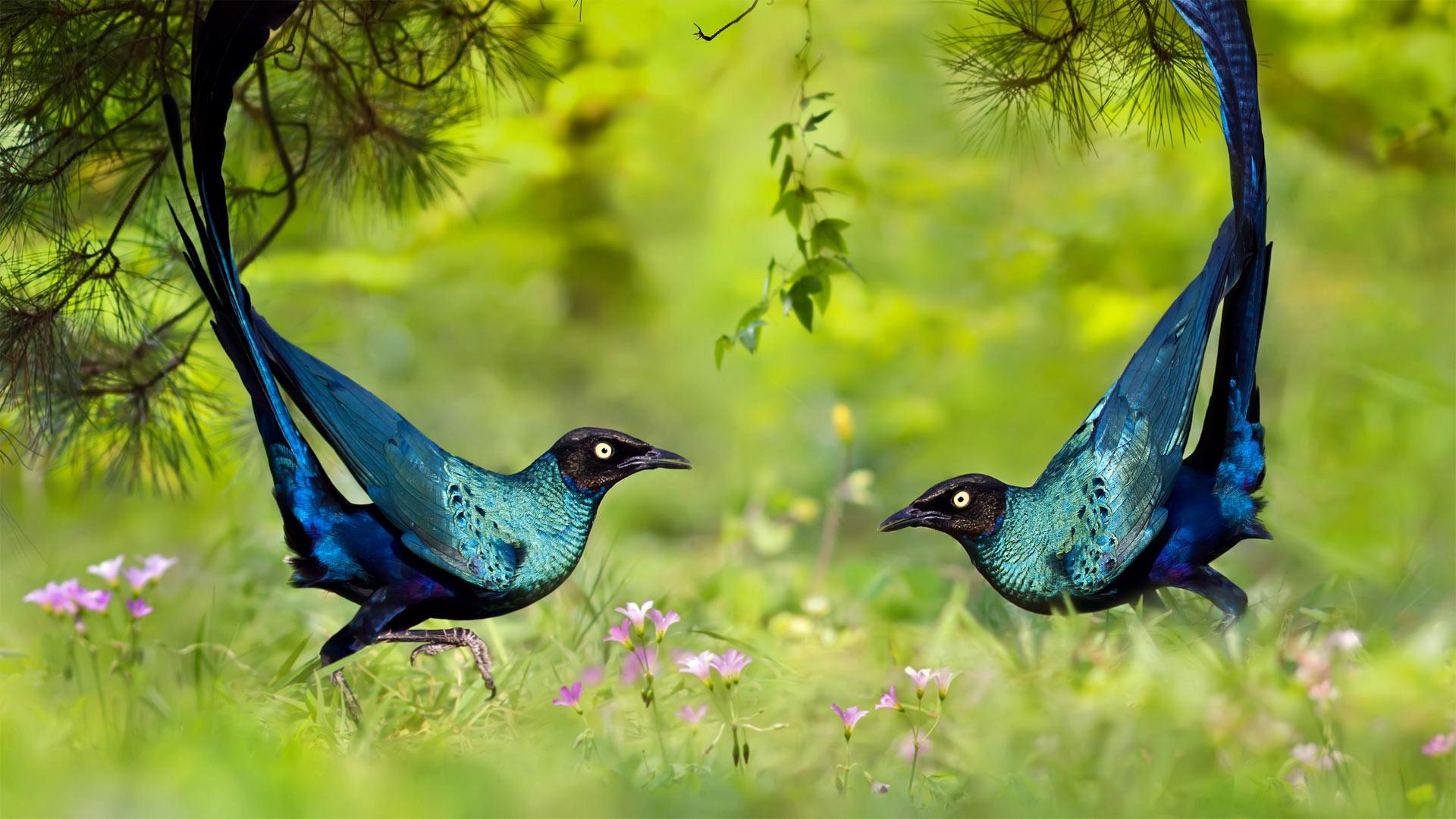 Long-tailed glossy starlings wallpaper