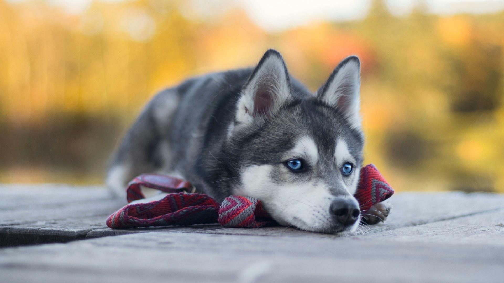 Siberian Husky puppy wallpaper