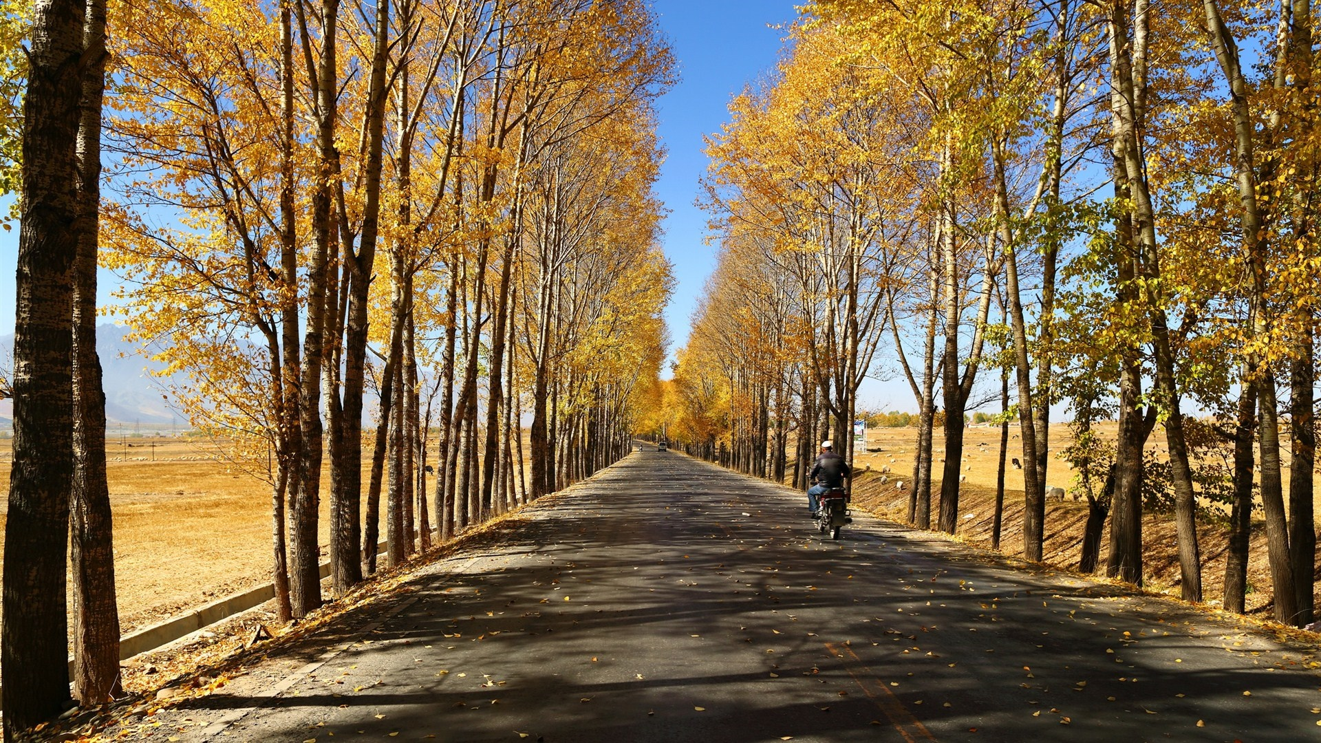 Gansu Corridor tree lane at fall wallpaper