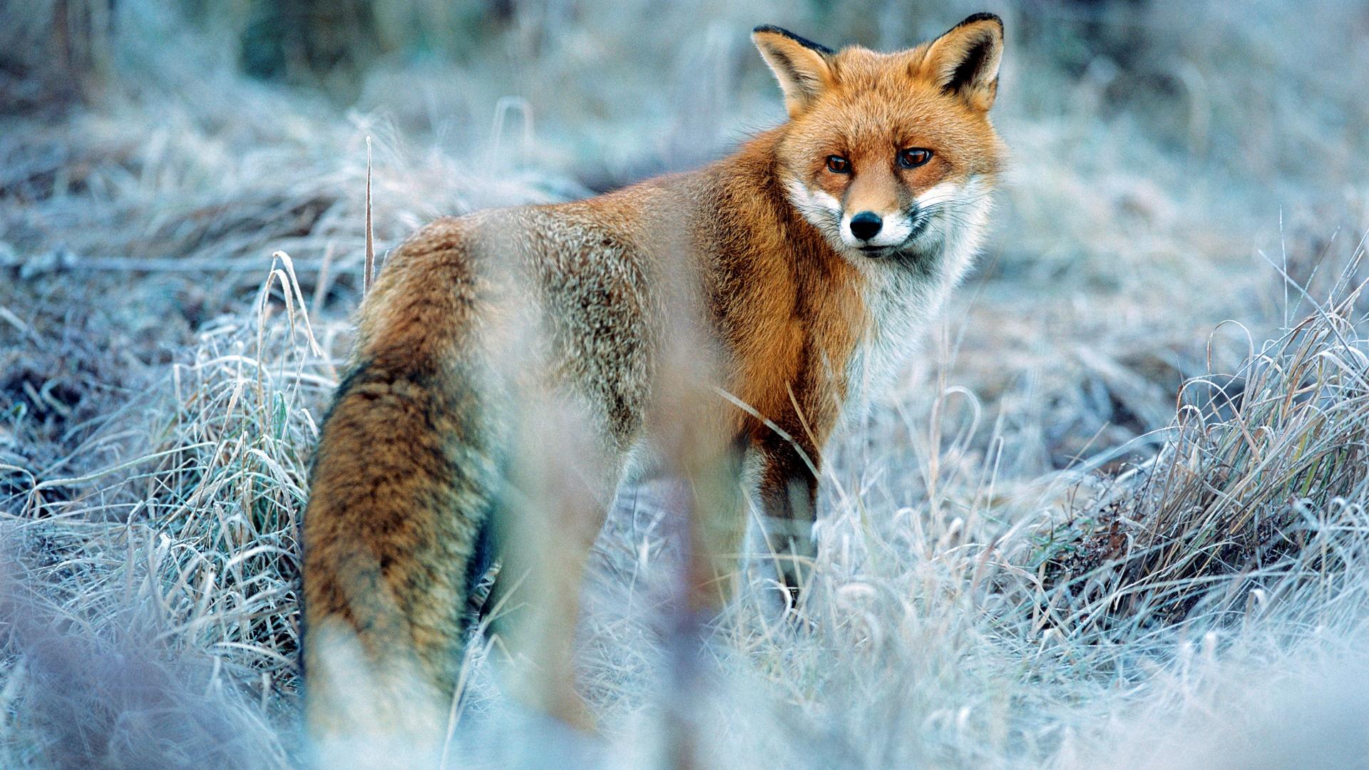 Red fox in winter wallpaper