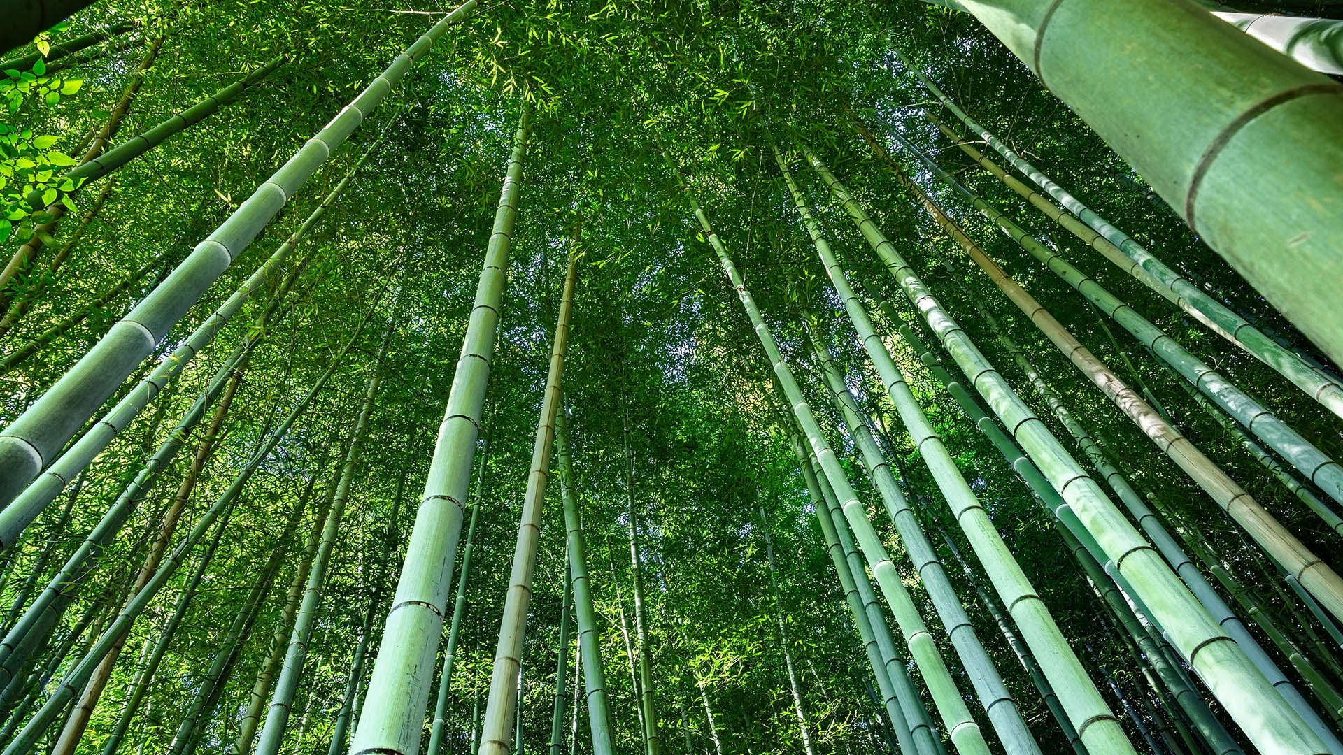 Low angle view of bamboo in forest, Kyoto, Japan wallpaper