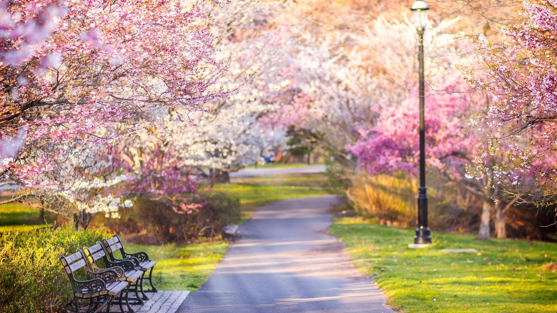Cherry blossom wallpaper - backiee