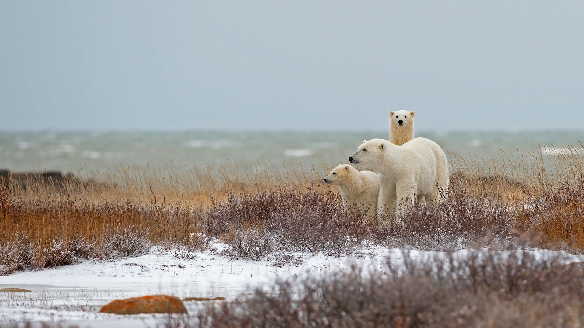 Polar bear family wallpaper