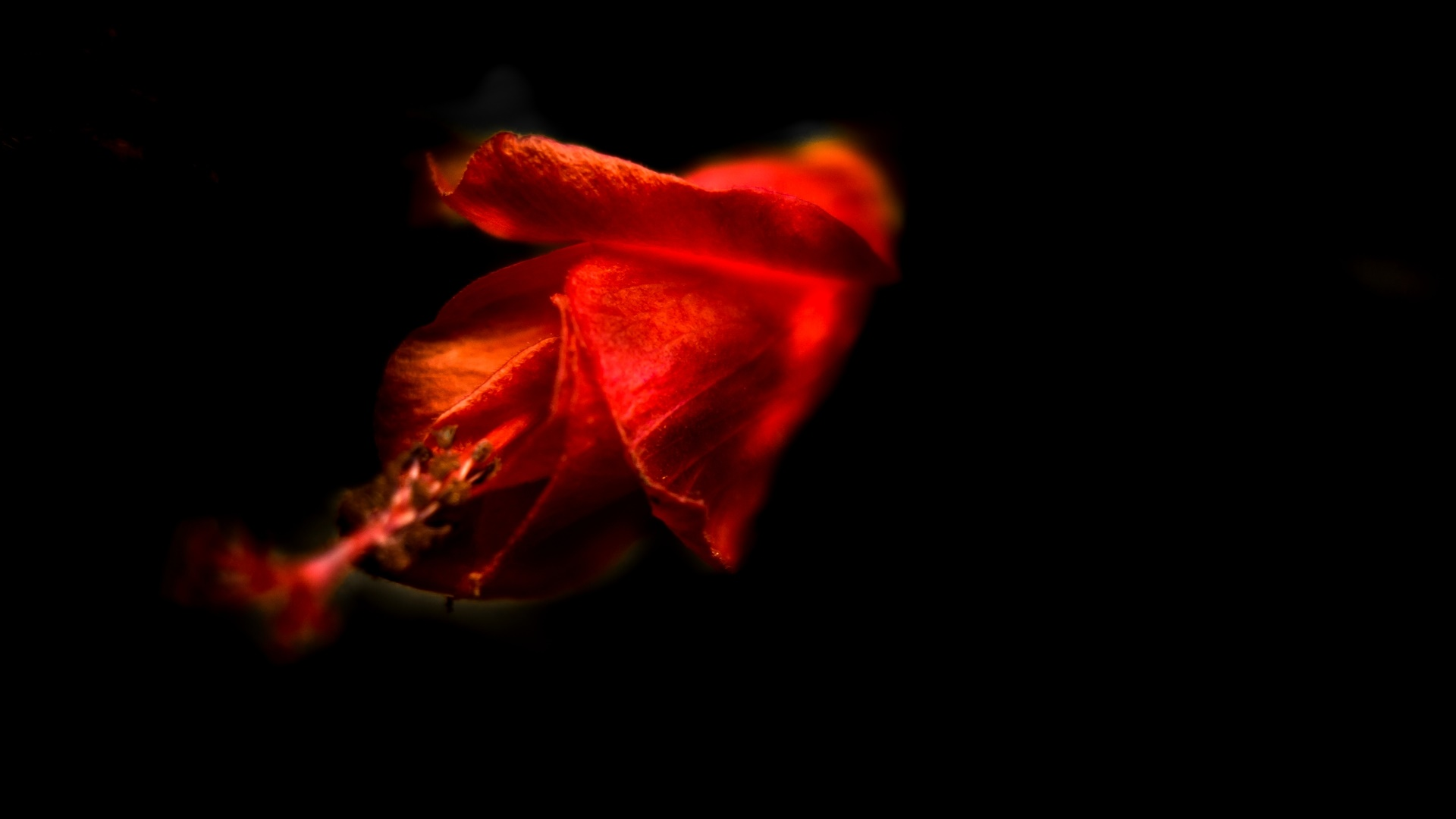 Red Hibiscus bud wallpaper