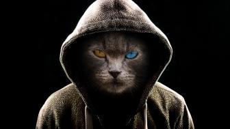 Heterochromia eyes cat in hoodie wallpaper