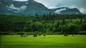 Grazing horses  wallpaper