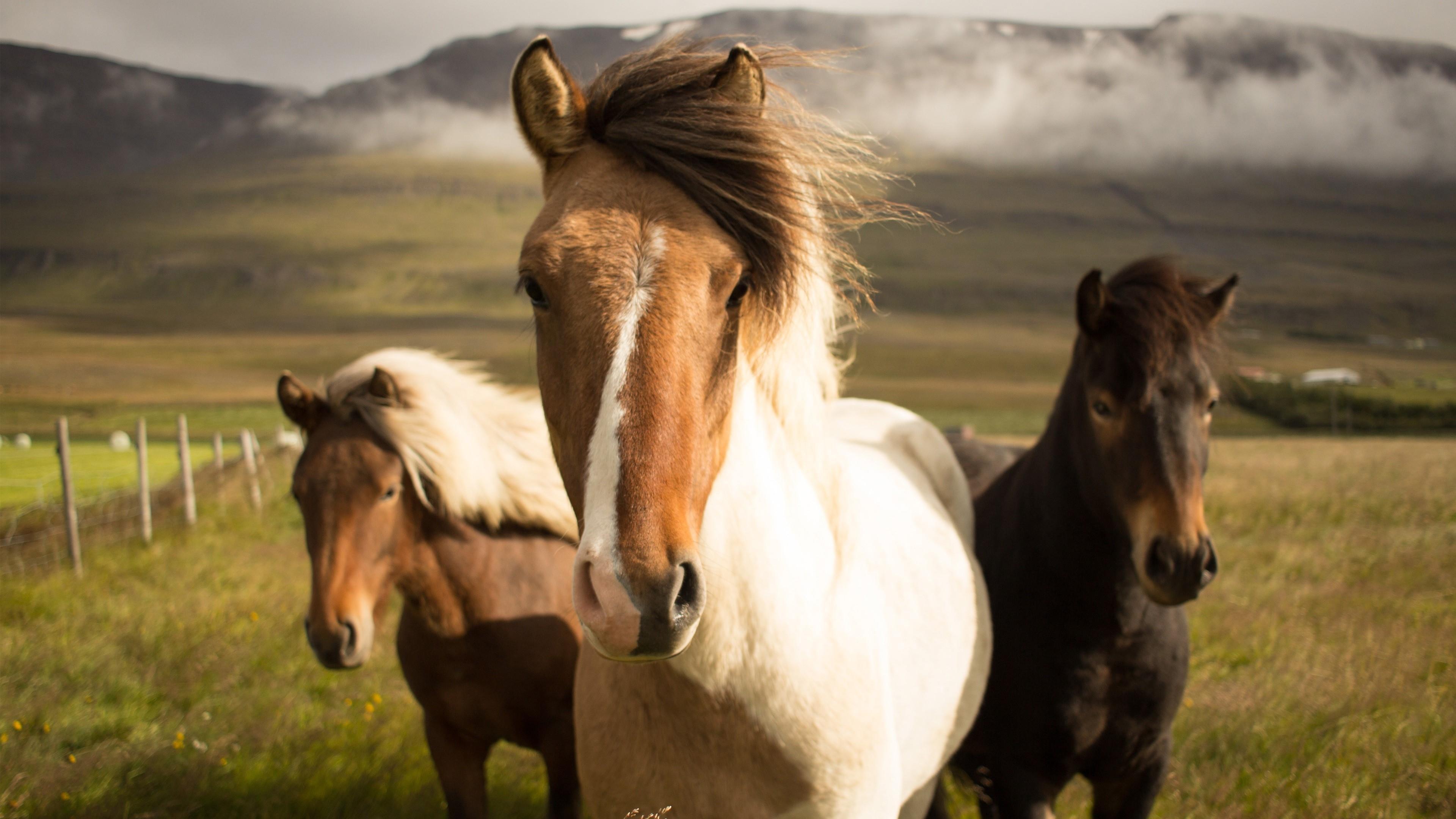 Icelandic horses wallpaper