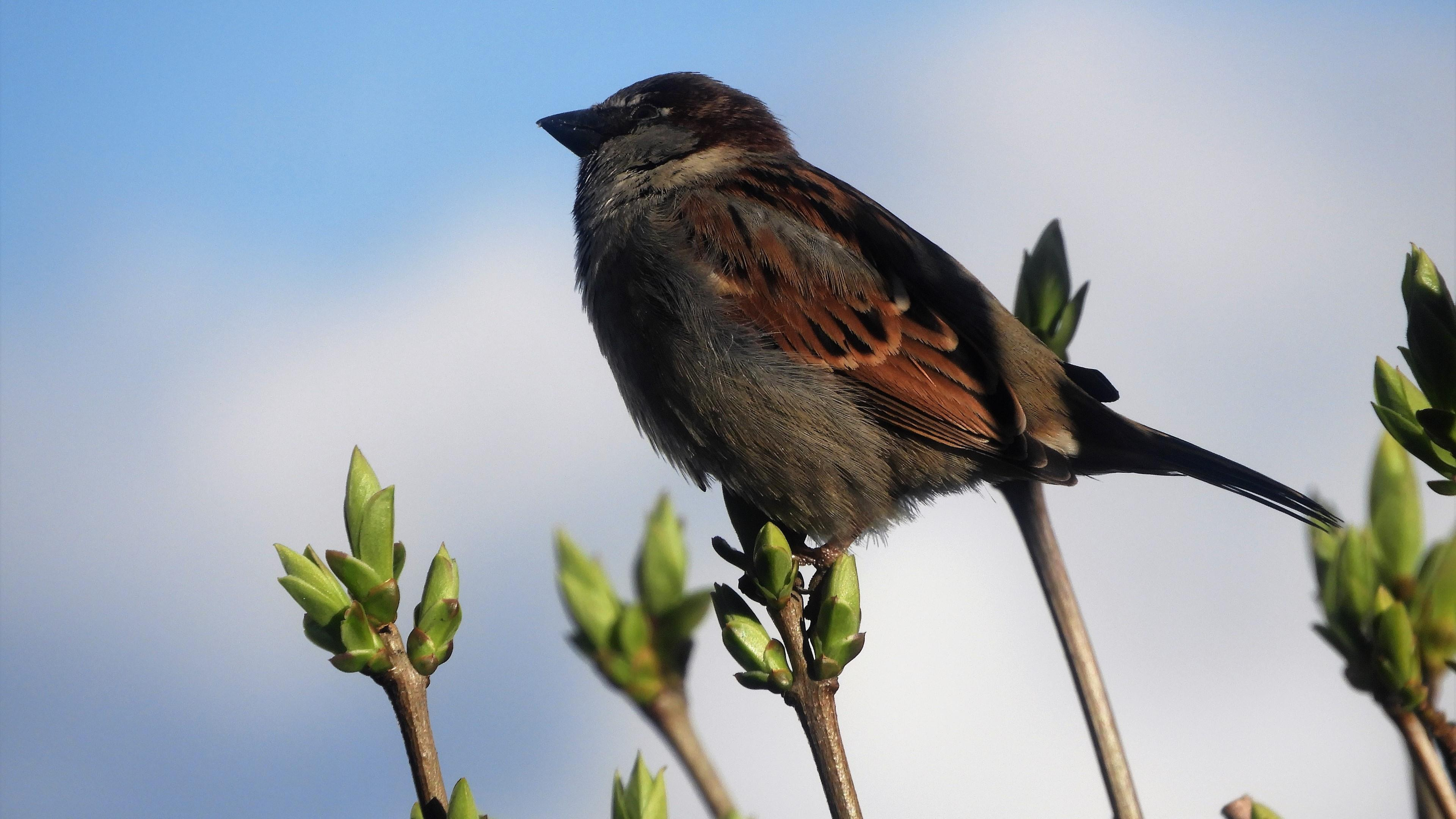 Sparrow bird wallpaper